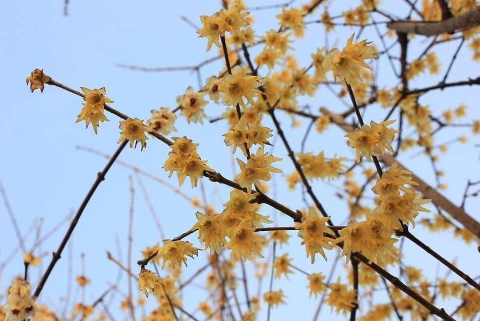 Chinesische Winterblüte - Chimonanthus praecox