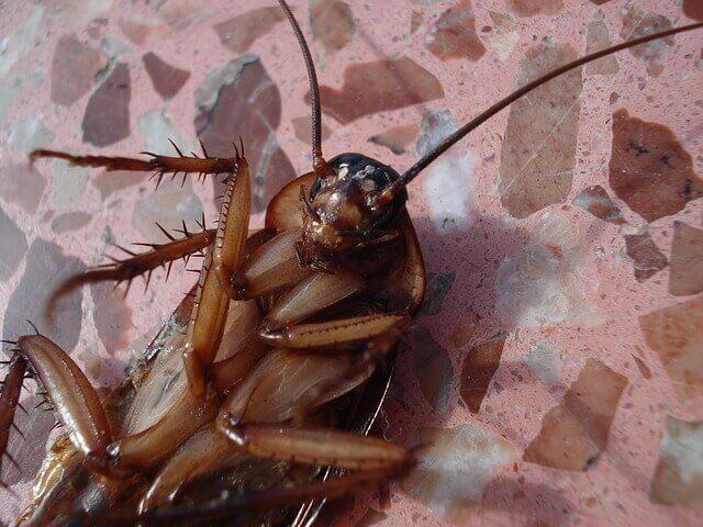 Kakerlaken Schaben In Wohnung Haus Bekampfen Hausmeisterservice
