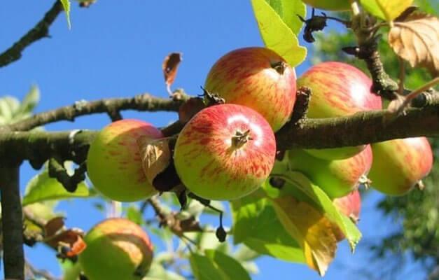 Top Obstbäume düngen (Apfel, Kirsche & mehr) - einfache Anleitung in 3 &AY_48